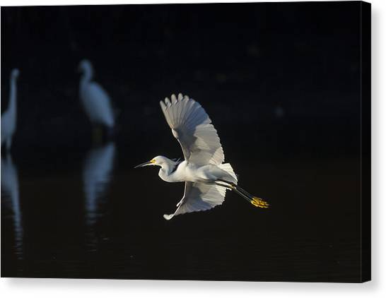 Snowy Egret In Flight In The Morning Light Canvas Print