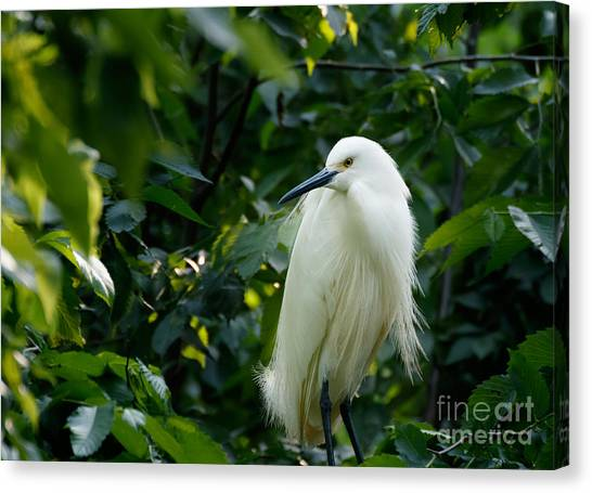 Snowy Egret In The Trees Canvas Print