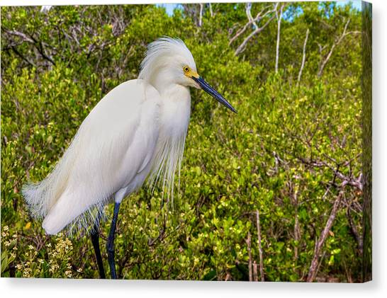 Snowy Egret Canvas Print by William Wetmore