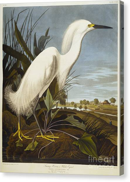 Egrets Canvas Print - Snowy Heron by John James Audubon