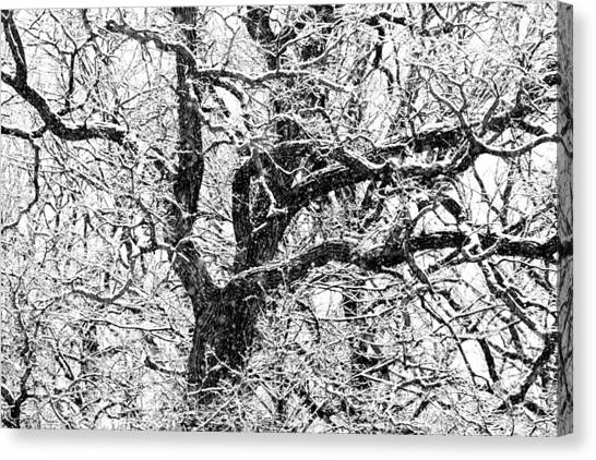Snowy Oak Canvas Print