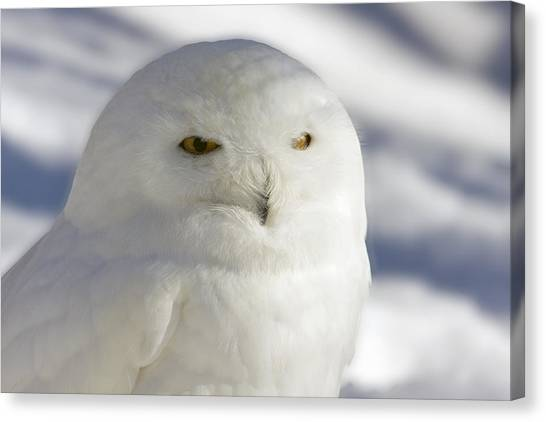 Snowy Owl - Harfang Des Neiges Canvas Print