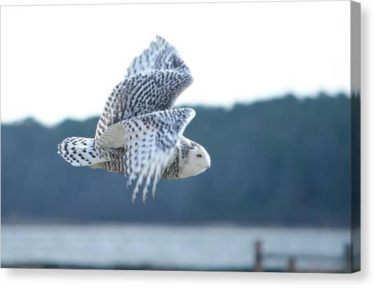 Snowy Owl 1 Canvas Print
