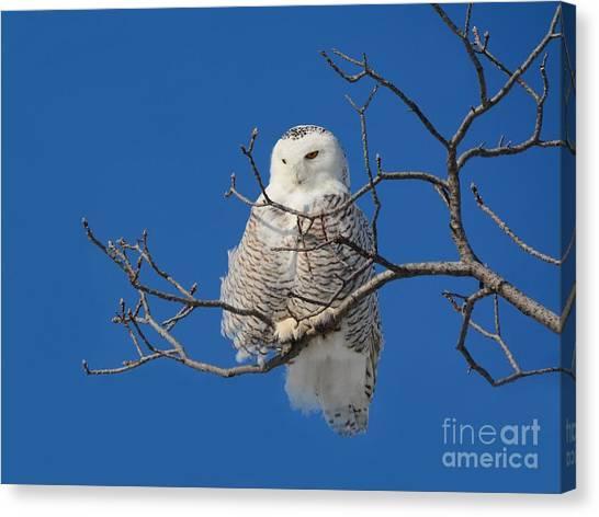 Snowy Owl 7 Canvas Print