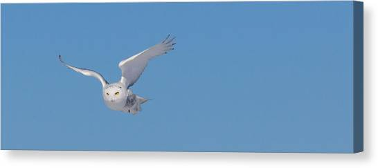 Snowy Owl - Dive Canvas Print
