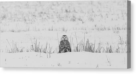Owls Canvas Print - Snowy Owl In Snowy Field by Carrie Ann Grippo-Pike