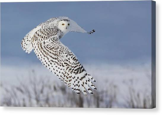 Flight Canvas Print - Snowy Owl by Mircea Costina
