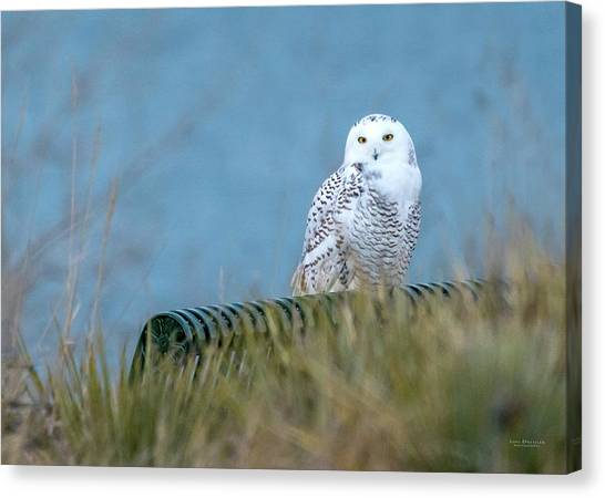 Snowy Owl On A Park Bench Canvas Print