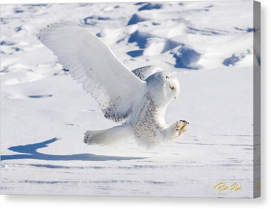 Snowy Owl Pouncing Canvas Print