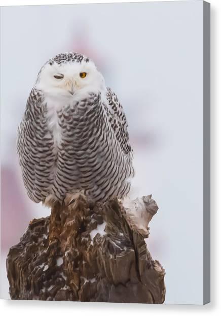 Snowy Owl Winking Canvas Print
