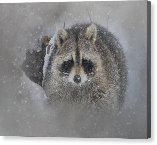 Snowy Raccoon Canvas Print