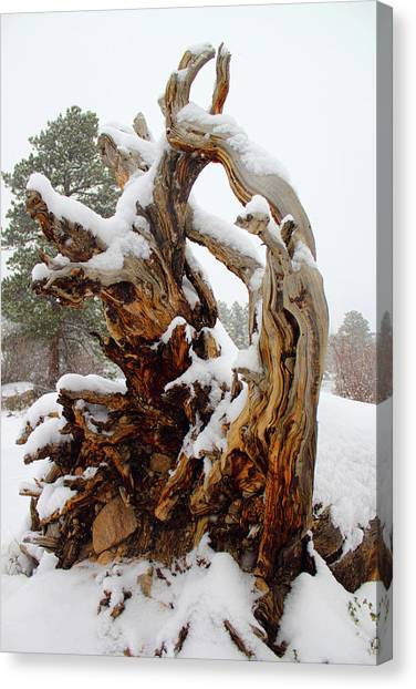 Snowy Roots 2 Canvas Print