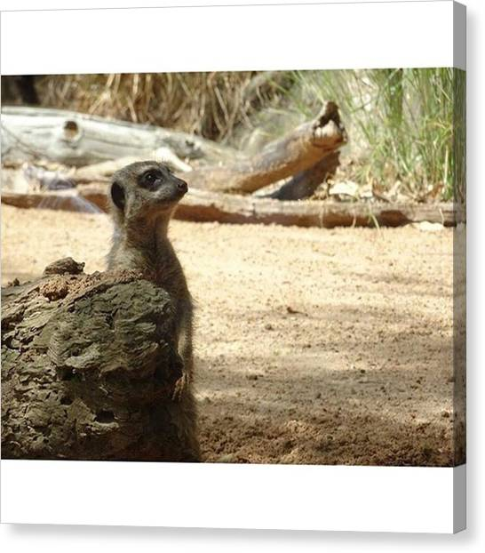 Meerkats Canvas Print - So Cute! Who Doesn't Love A by Kevin Liu