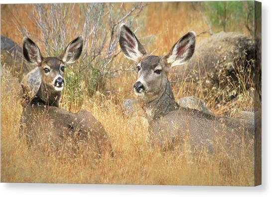 White-tailed Deer Canvas Print - So Much For Your Secret Place... by Donna Kennedy