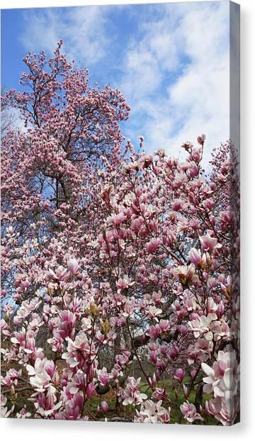 Soaring Magnolia Canvas Print