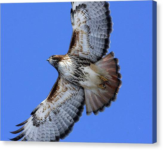 Soaring Red-tail Canvas Print