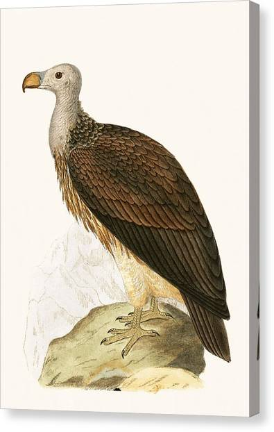 Vultures Canvas Print - Sociable Vulture by English School