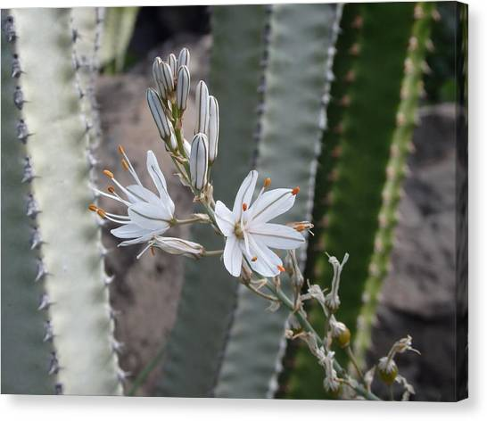 Pretty And Prickly - Beautiful White Flower Canvas Print