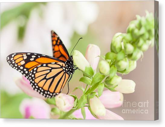 Soft Spring Butterfly Canvas Print