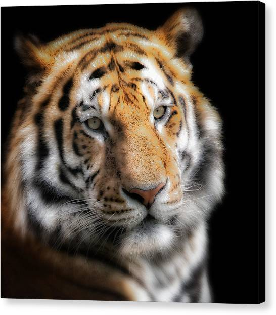 Soft Tiger Portrait Canvas Print