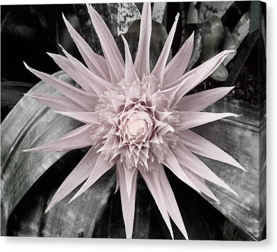 Bromeliad canvas print soft tint pink and green bromeliad by elaine plesser