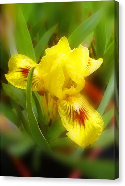 Soft Yellow Iris Canvas Print