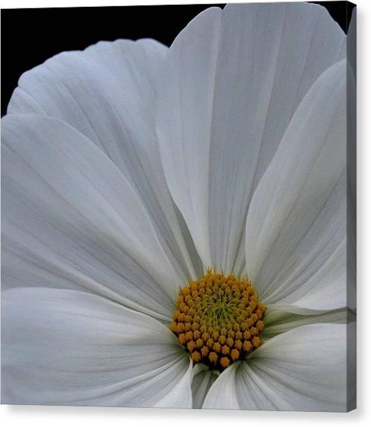 Softly White Canvas Print by Marilynne Bull
