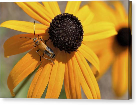 Soldier Beetle On His Flower Canvas Print