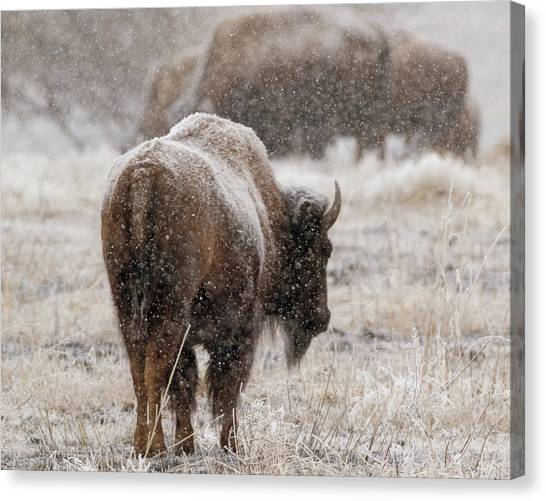 American Bison In Snow Canvas Print
