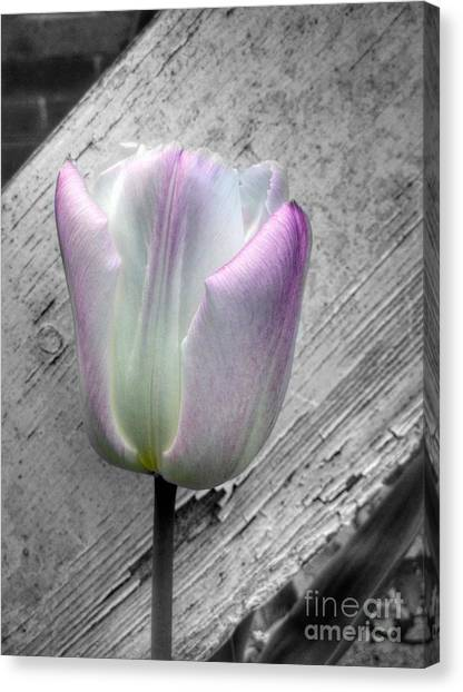 Solitary Pink Whisper Tulip Canvas Print