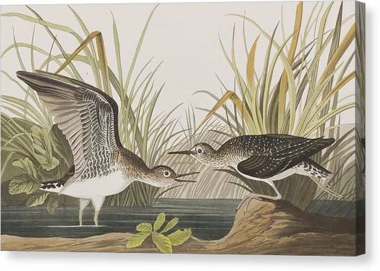Sandpipers Canvas Print - Solitary Sandpiper by John James Audubon