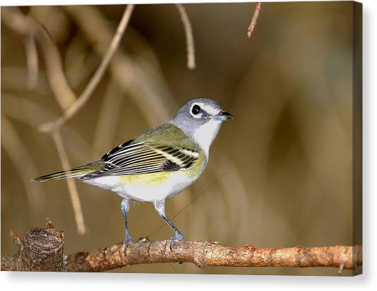 Solitary Vireo Canvas Print by Alan Lenk