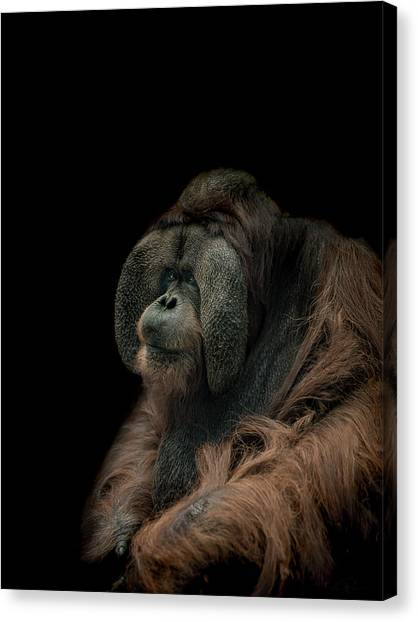 Primates Canvas Print - Somber by Paul Neville