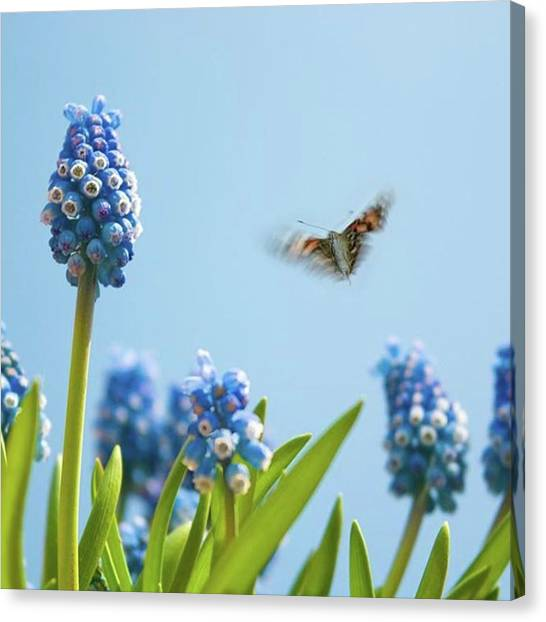 Animal Canvas Print - Something In The Air: Peacock by John Edwards