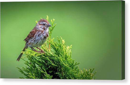 Song Sparrow Perched - Melospiza Melodia Canvas Print