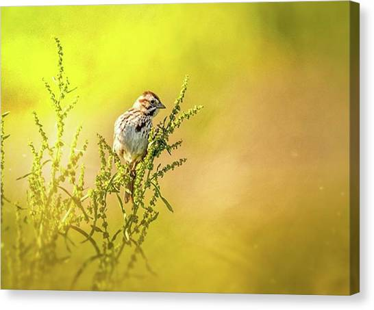 Sparrows Canvas Print - Song Sparrow Shot With Nikon D4s by Hsa Htaw
