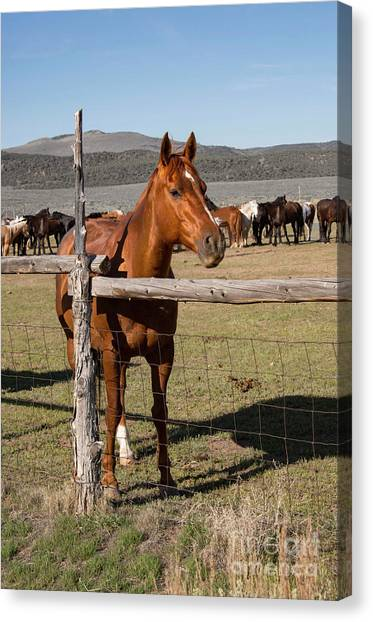 Brown Ranch Trail Canvas Print - Sorrel Horse In Wooden Corral On Ranch With Horse Herd by Georgia Evans