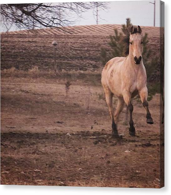 Thoroughbreds Canvas Print - Sorry For The Bad Quality🙈buck Was by Neli Kvale