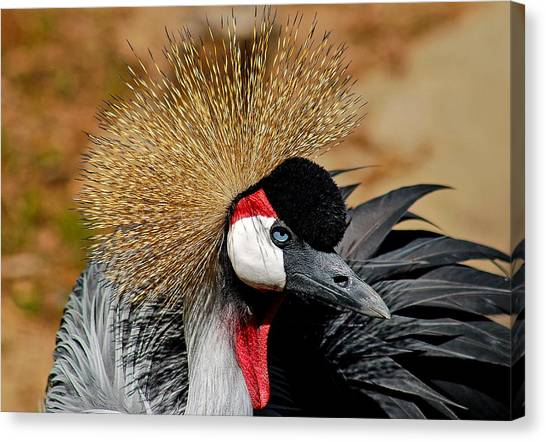 South African Crowned Crane Canvas Print