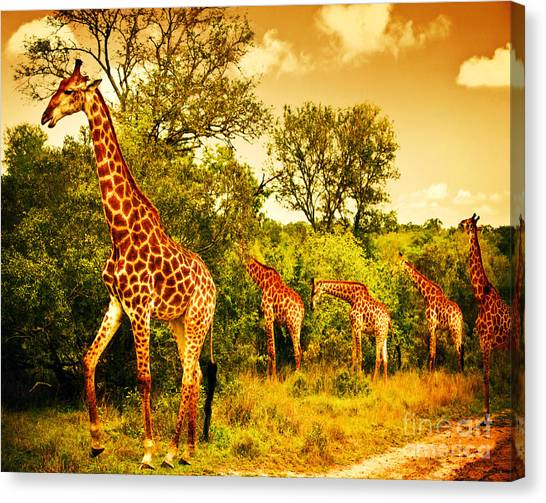 South African Giraffes Canvas Print