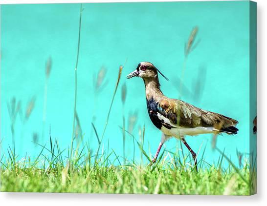 Lapwing Canvas Print - Southern Lapwing by Randy Scherkenbach