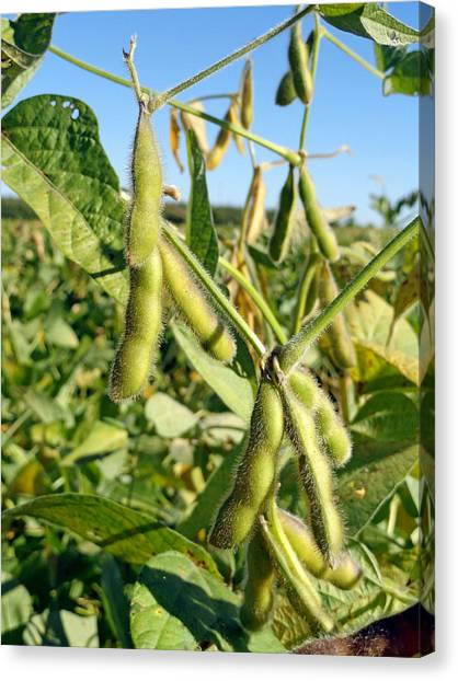 Soybeans In Autumn Canvas Print