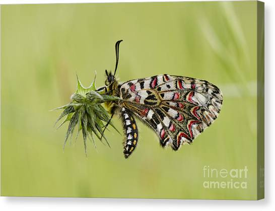 Spanish Festoon Butterfly Canvas Print