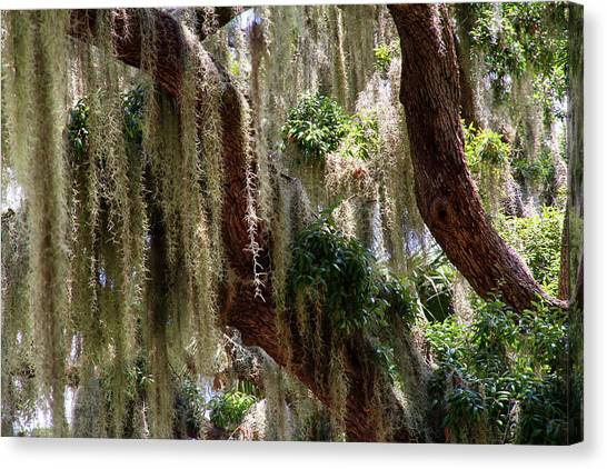 Spanish Moss Cascade Canvas Print
