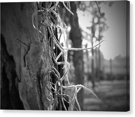 Spanish Moss In The Florida Sun Canvas Print by Megan Verzoni