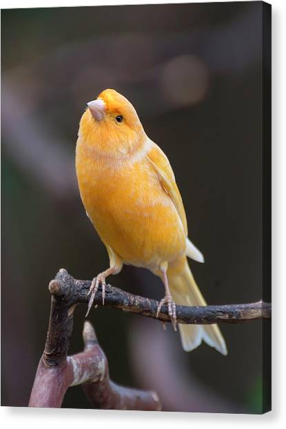 Spanish Timbrado Canary Canvas Print