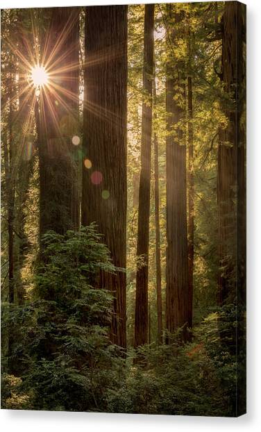 Sparkle In The Redwoods Canvas Print