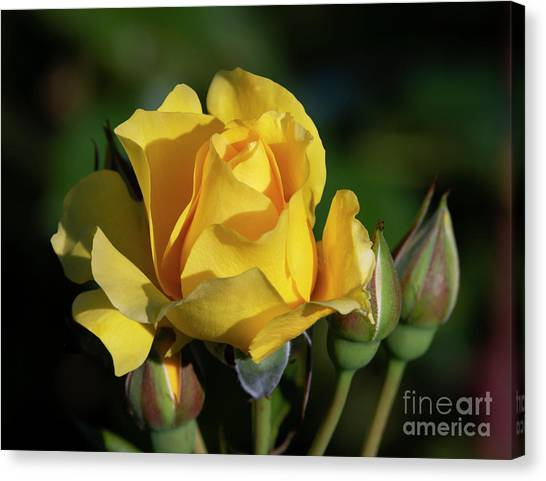 Sparkle N Shine Rose 6 Canvas Print