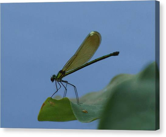 Sparkling Jewelwing #2 Canvas Print