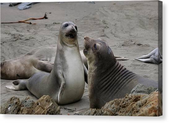 Sparring Seals  Canvas Print